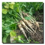 Quick tip: Sowing Parsnips