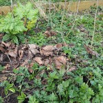 How to get rid of pernicious weeds without chemicals