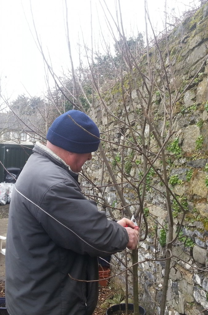 pruning apple trees in the community garden