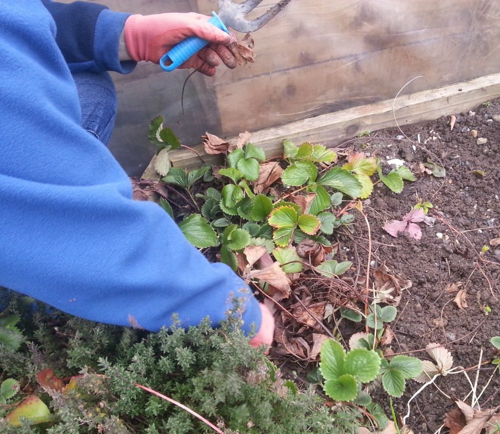 Strawberries in Goresbridge Community Garden