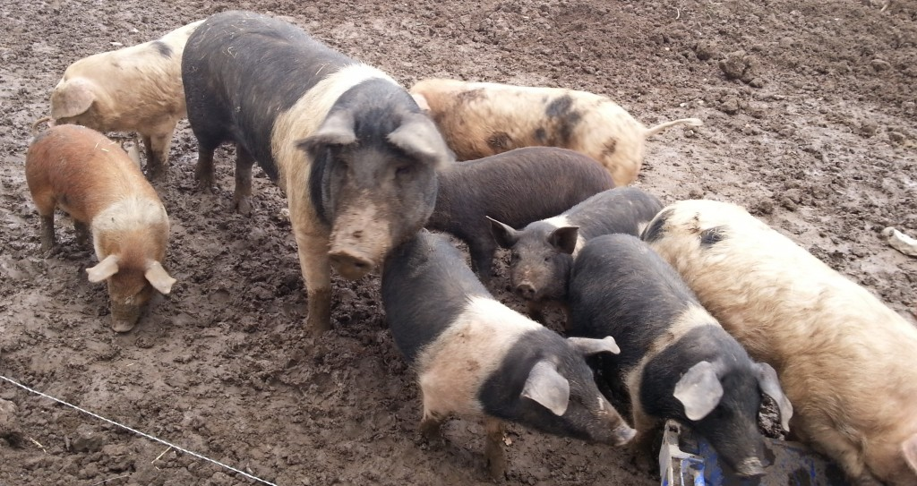 Oldfarm pigs