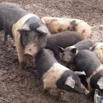 Oldfarm pig rearing workshops and our latest venture!