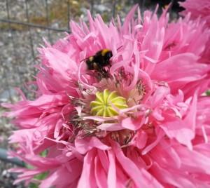 poppiesandbees.jpg