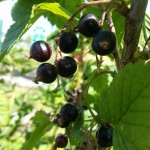 How to make blackcurrant cordial