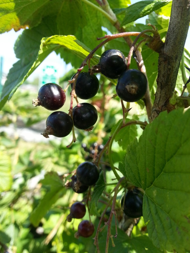 How to make homemade blackcurrant cordial