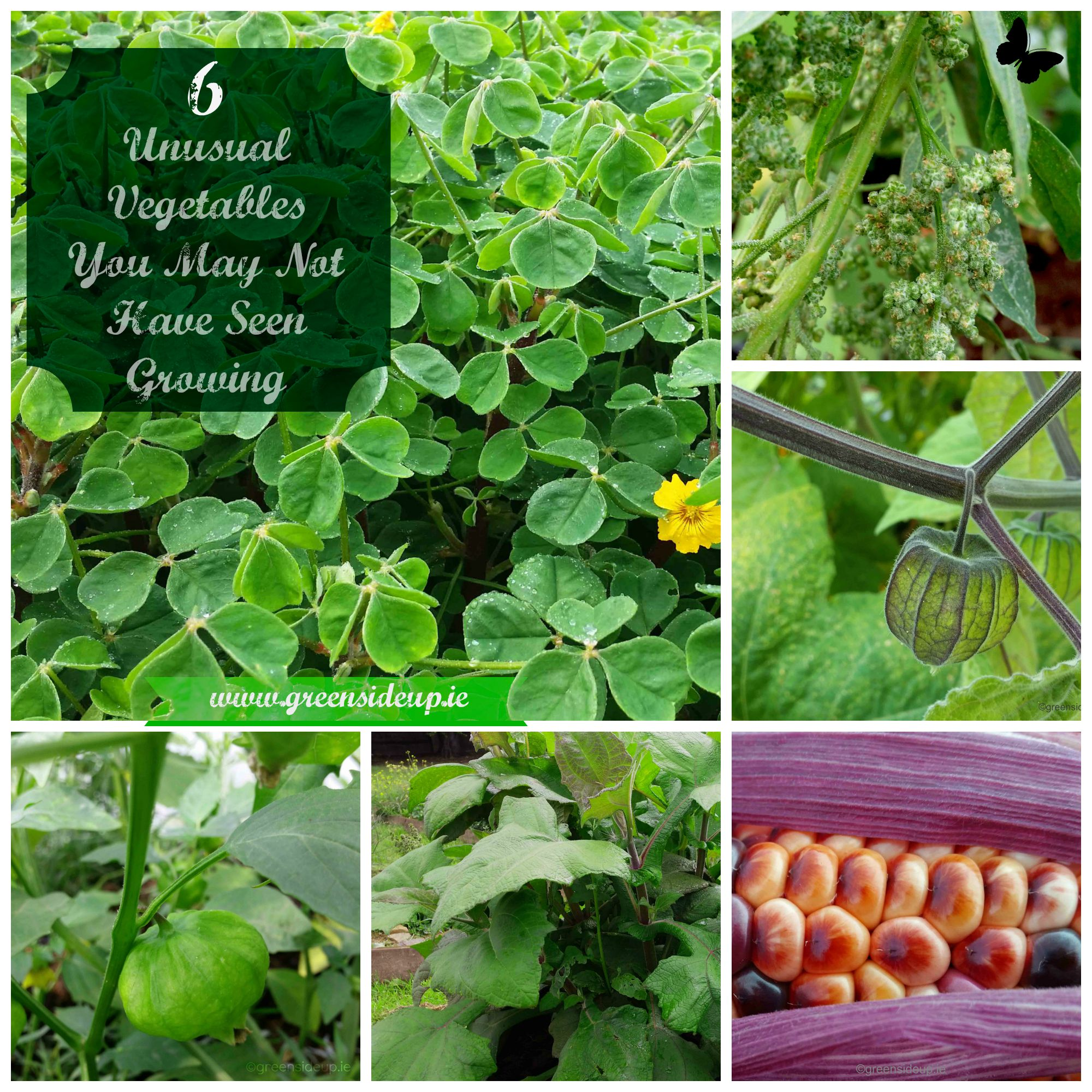6 unusual vegetables you may not have seen growing for What vegetables to grow
