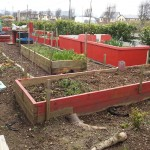 Growing vegetables in Ballon Community Garden