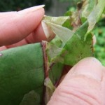 Wednesday Wiglers – Beet Leaf Miner