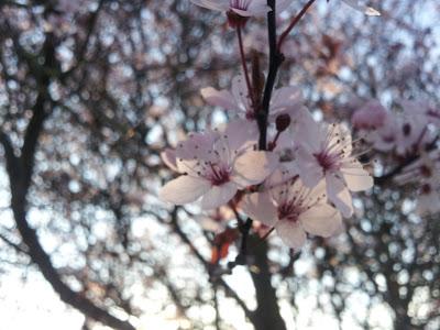 rp_Blossom.jpg