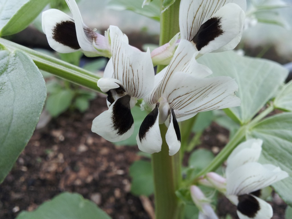 Broad (Fava) Bean Flower