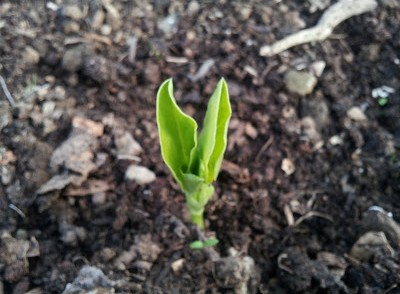 Broad bean seedling