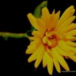 Sunday Snap – Colourful Calendula