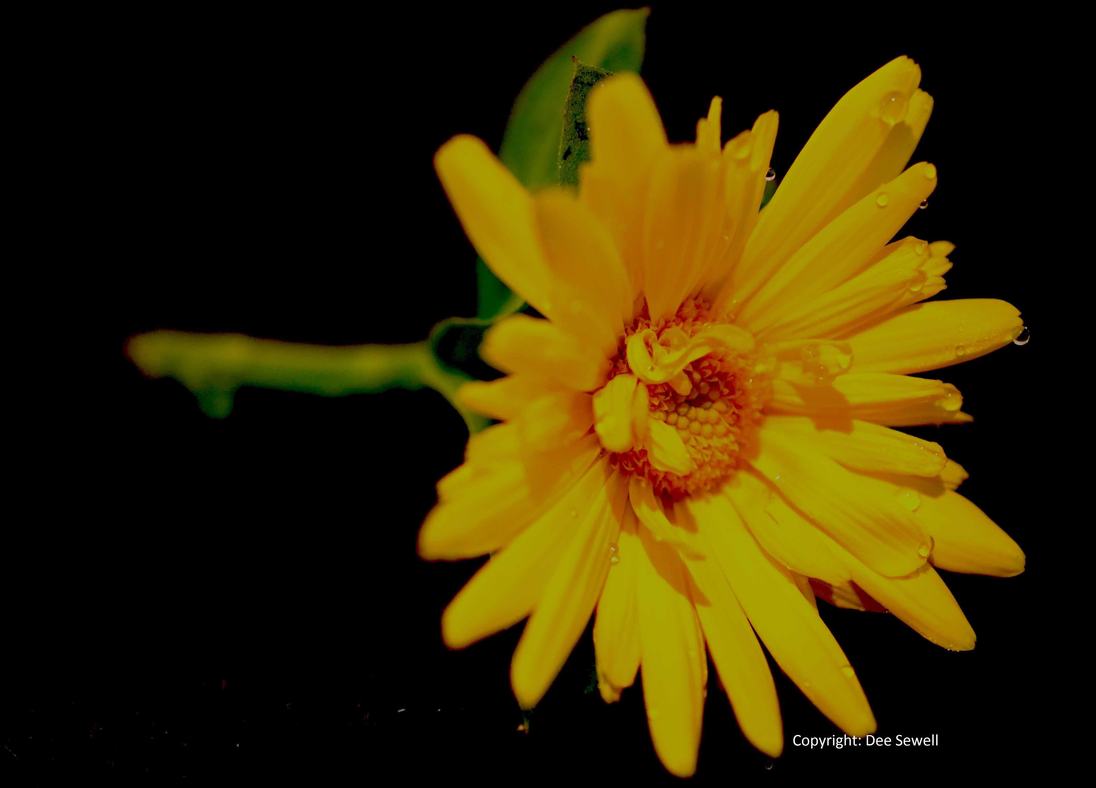 Callendula in flower in January
