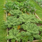 Kale … a very hardy veg … and not just for the livestock