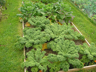 Kale - A Hardy Vegetable and Not Just for the Livestock