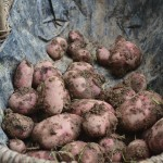 Potatoes – All you need to know to help you grow your own