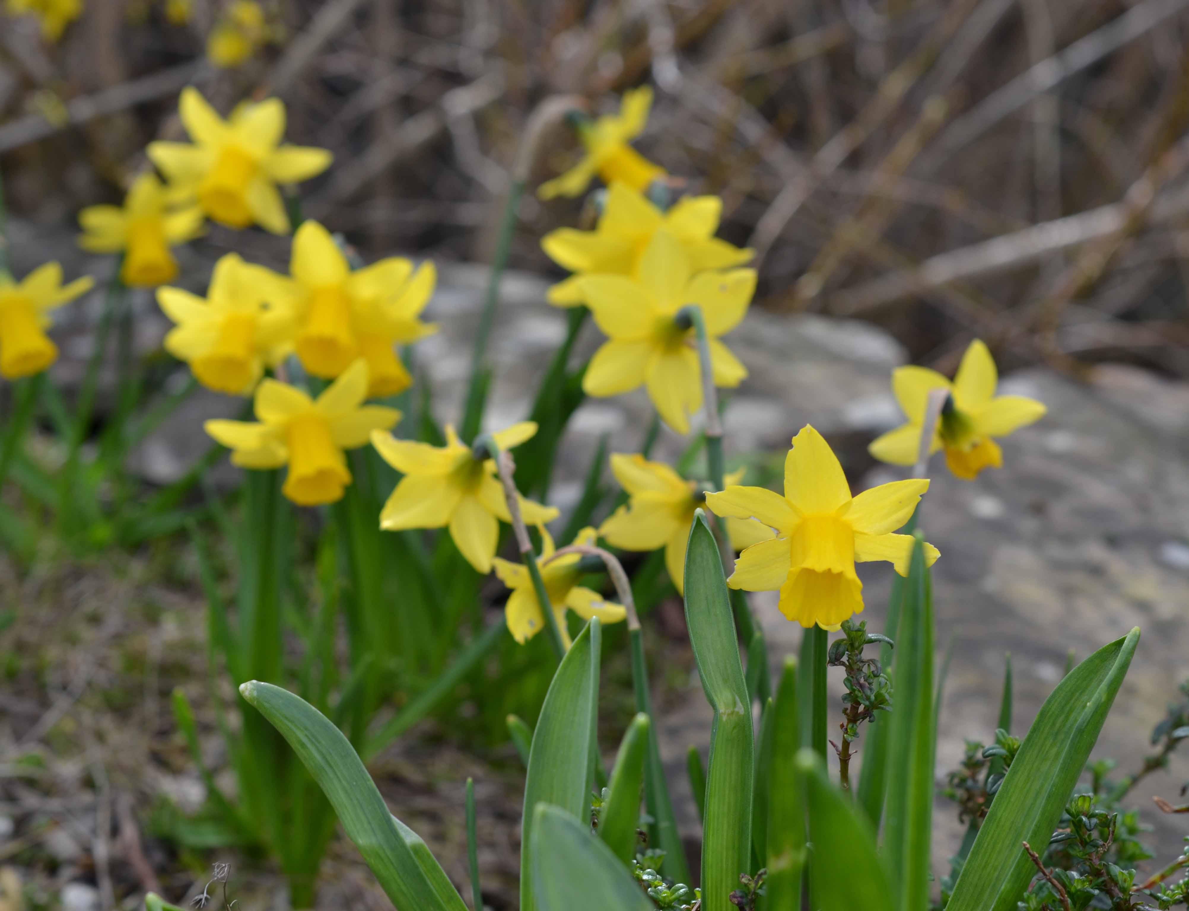 Delta Centre Tete a Tete Daffodils