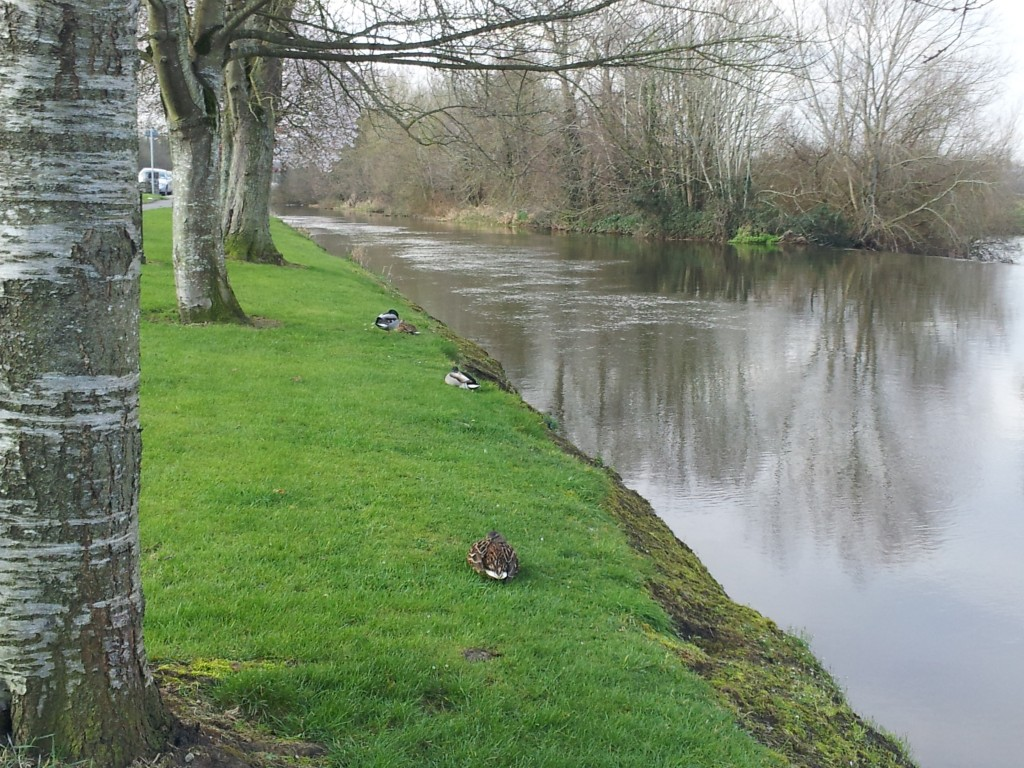 Ducks by the river Barrow