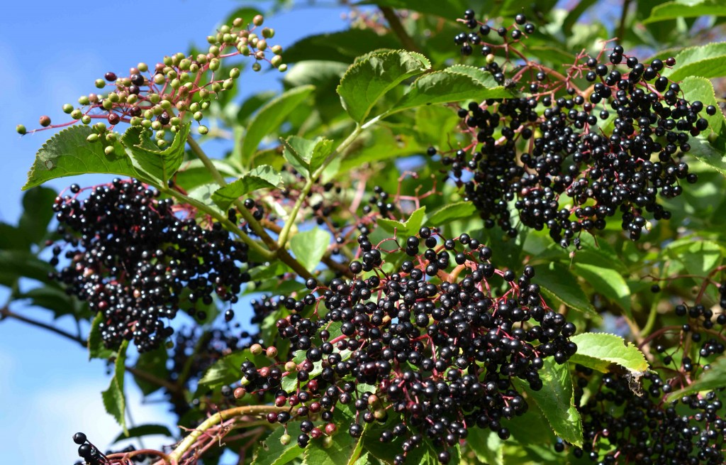 Elderberry Cordial Recipe