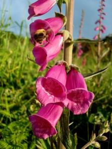 Foxglove flower