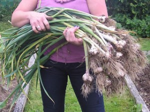 Harvesting the Garlic in August