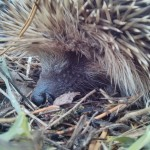Keep a Look Out for Hedgehogs and Wildlife