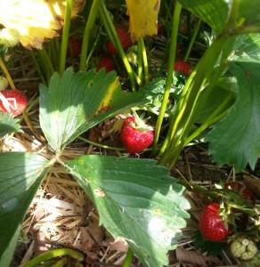 Sunny Strawberry