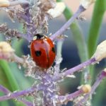 How to get rid of Aphids on your Greens without Chemicals