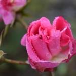 Sunday Snap ~ Rose Petals