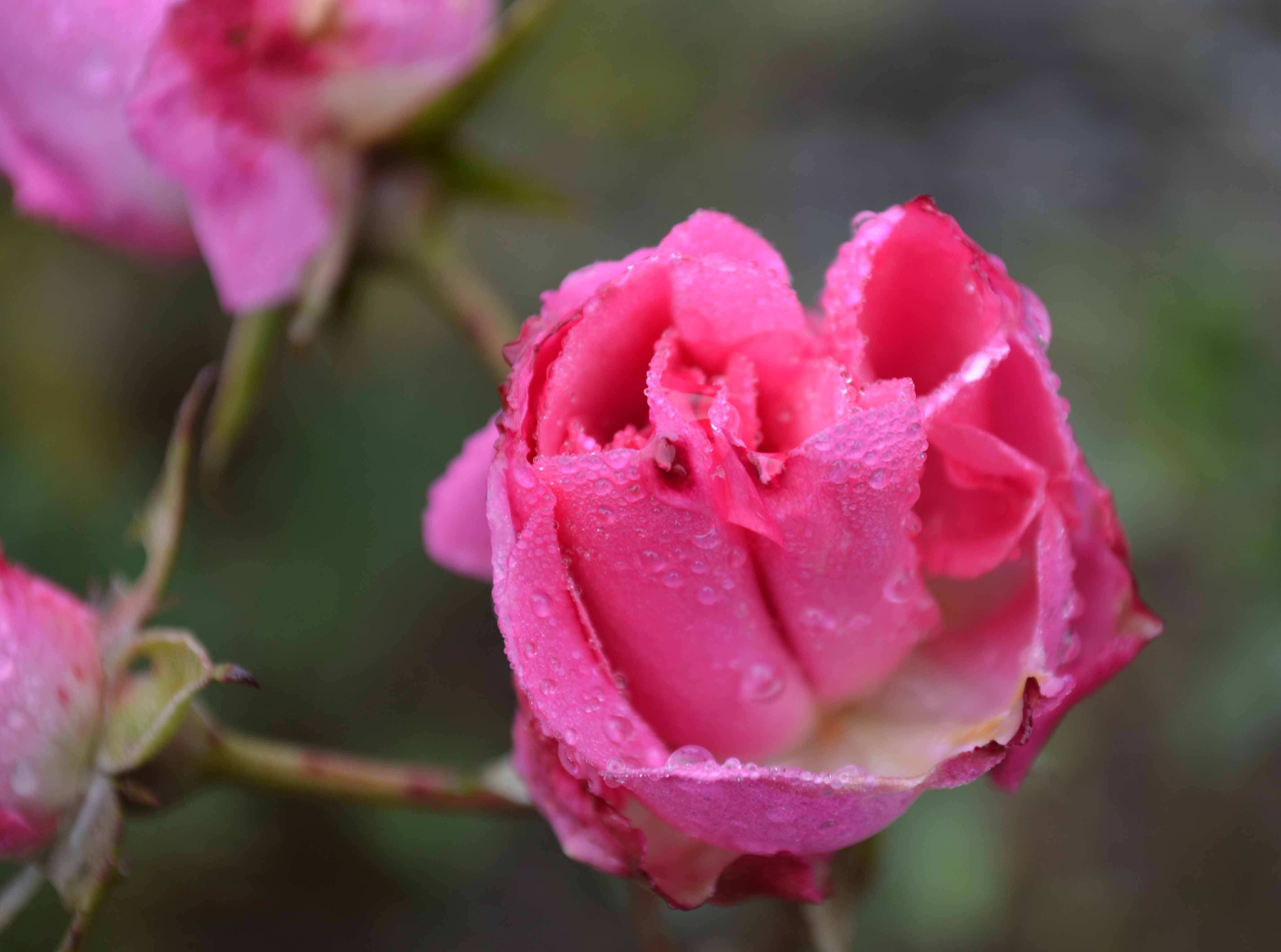 Late Autumn Rose