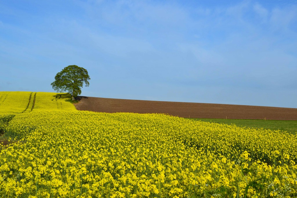 Lonesome Tree in Rapeseed Field