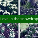 Love in the snowdrops as the Carlow snowdrop festival begins