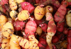 Oca - 6 Unusual Vegetables You May Not Have Seen