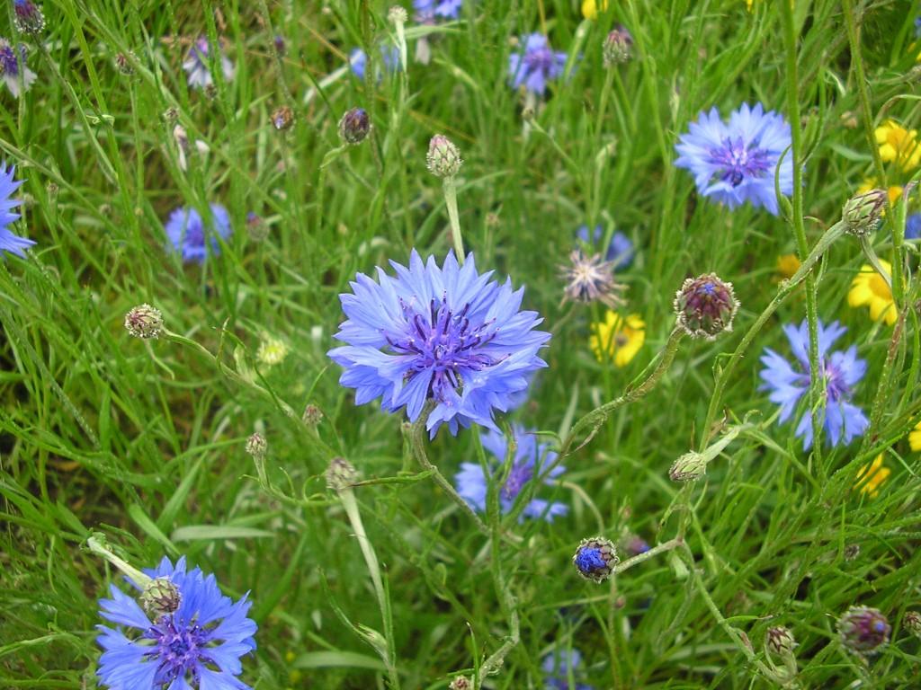 Wild Cornflowers