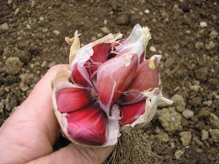 Garlic bulb split into cloves