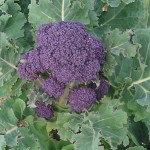 Life cycle of purple sprouting brocolli