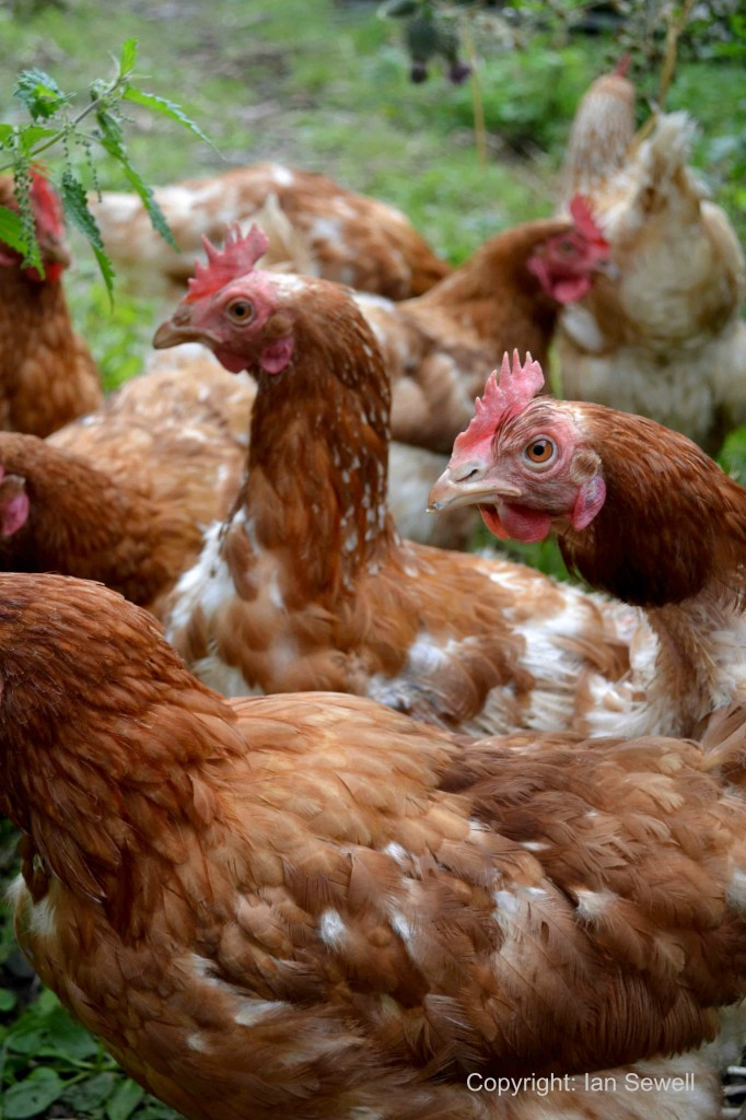 Rehoming Rescue Hens