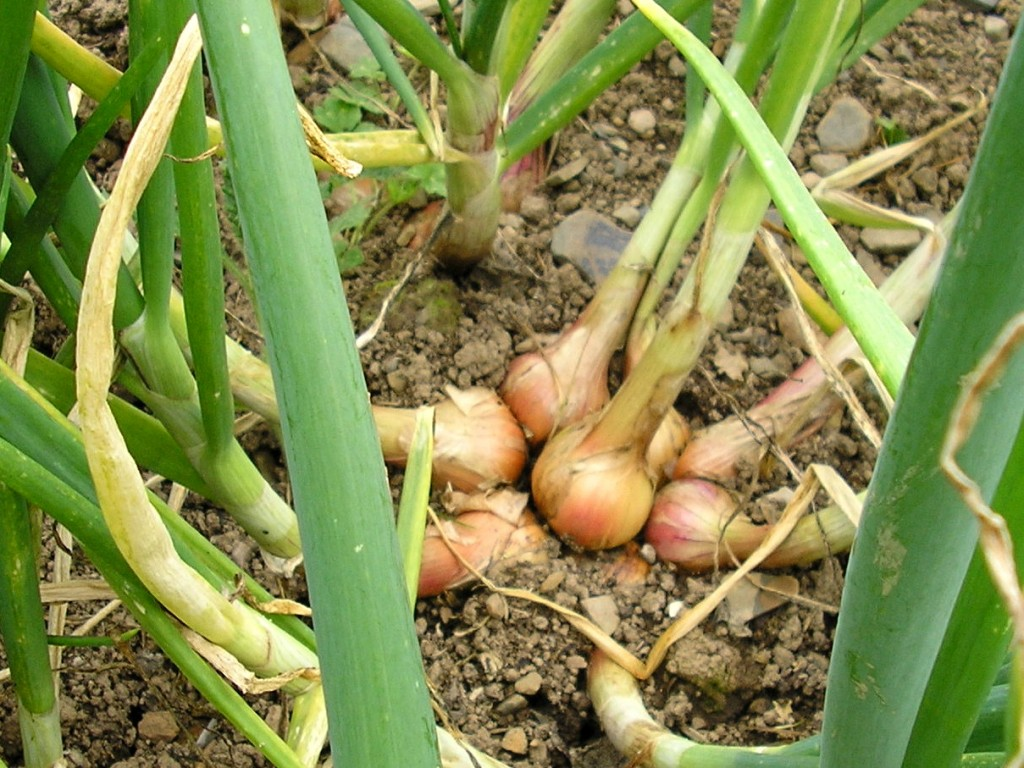 Shallots, ideal for a small vegetable garden