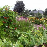 Summer 2012 Leighlin Parish Community Garden