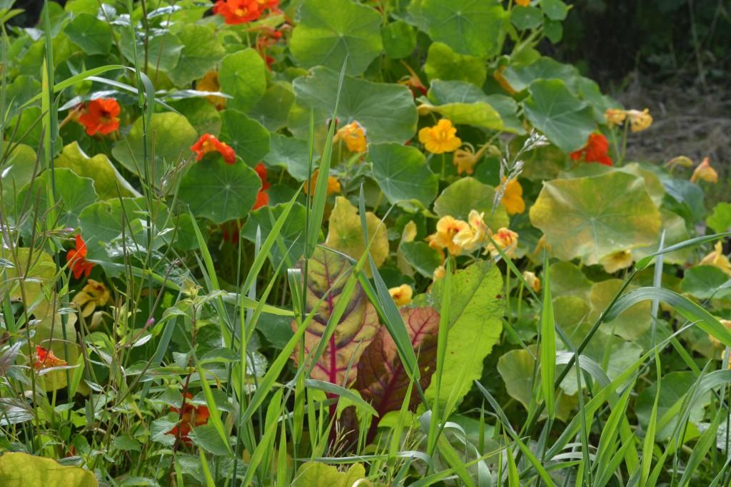 Rainbow Chard & Nasturtiums