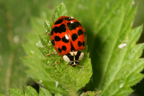 Why people are freaking out about Harlequin Ladybirds