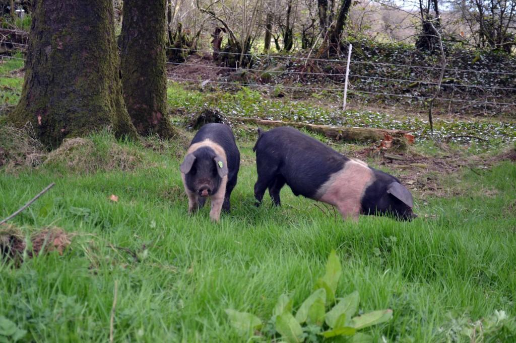 Saddleback pigs in April