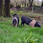 The pigs & our bumpy road to self sufficiency