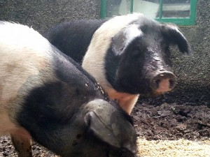 Saddleback pigs in August