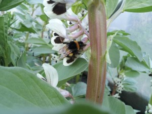 bee collecting pollen on a broad (fava) bean