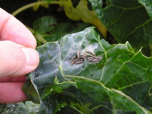 cabbage white caterpillars