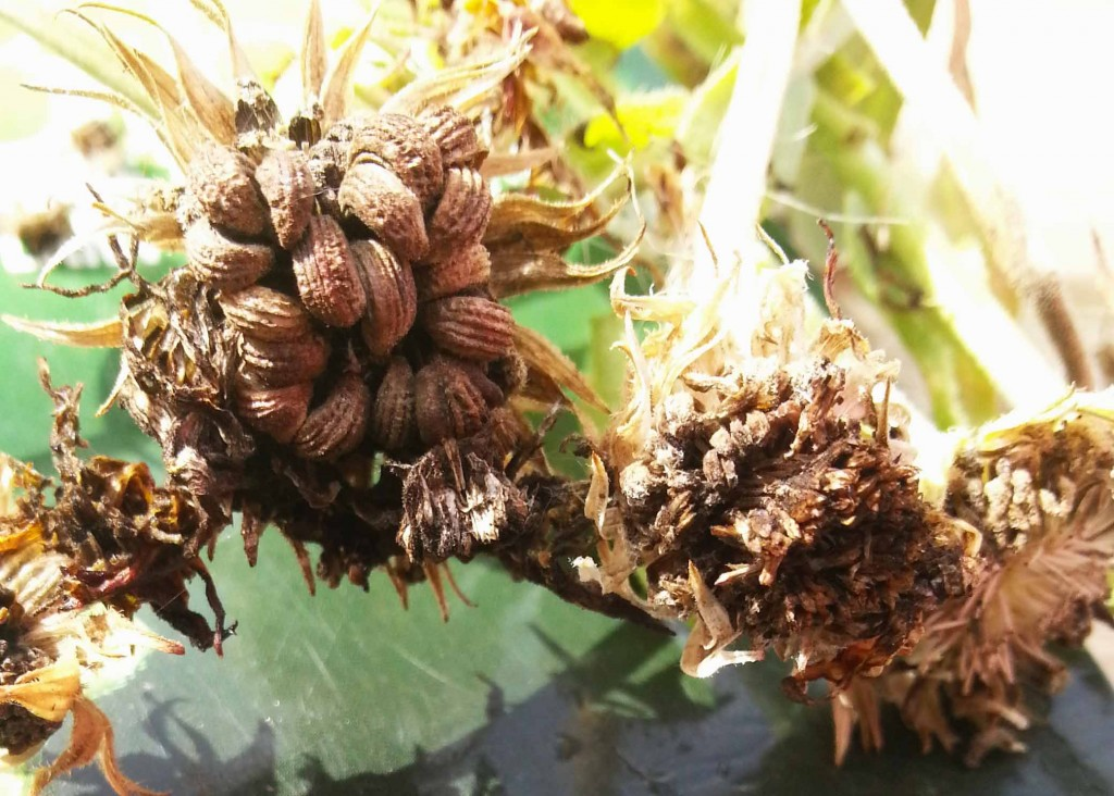 Calendula Seed Head - ready to harvest