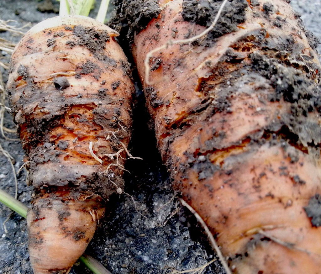 Carrot Root Fly Larvae