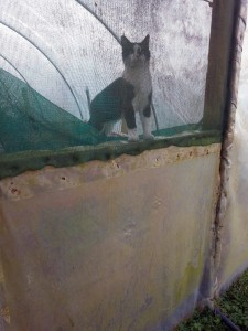 Cats often make holes in polytunnel plastic