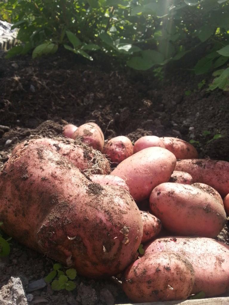 Coleen Potatoes